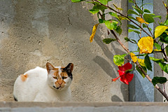 Its own place in the sun (Poupetta) Tags: cat tlv hibiscus