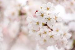 Sakura (Teruhide Tomori) Tags: sakura cherry someiyoshino tree japan japon kyoto spring flower 京都 日本 桜 春 花 四季 ソメイヨシノ 染井吉野 macro blossom bloom