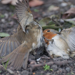 "Birds fight<a href=""http://www.flickr.com/photos/28211982@N07/33026244550/"" target=""_blank"">View on Flickr</a>"