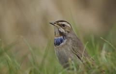 Bluethroat (J J McHale) Tags: lusciniasvecica bluethroat bird nature wildlife wing