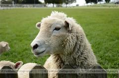 Checking Out the Customers (ficktionphotography) Tags: jrrtolkien lordoftherings matamata newzealand sheep thehobbit hobbitton sheepwantsfood