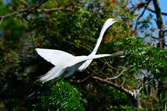 Great Egret Nest building (M. Coppola) Tags: florida hillsborough greategret ardeaalba