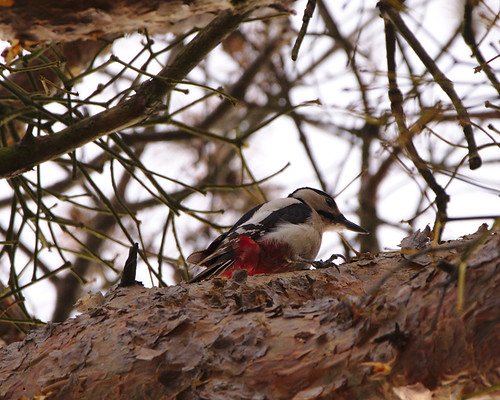 Woodpecker in the forest of Oftersheim