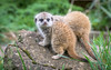 Baby Meerkats at Thorp Perrow