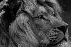 The Lion King #46 #portrait (nicoheinrich86) Tags: 52of2017 portrait 46 wild animals löwe auge eye onecolor blackwhite lionking king lion