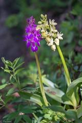 an uneven couple (Tschissl) Tags: wallis orchis swizerland orchideen valais schweiz orchids fully ch