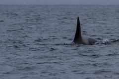 Orque (JordiOssau) Tags: cetacea cétacés delphinidae delphinidés hiver killerwhale lofoten mammalia mammals mammifères norvège orcinusorca orque mer voyage nordland