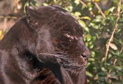 jaguar Mowgli artis BB2A8214 (j.a.kok) Tags: mowgli jaguar pantheraonca southamerica zuidamerika blackjaguar artis kat cat predator roofdier zoogdier animal dier