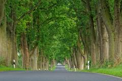 Deutsche Alleenstraße (nordelch61) Tags: rügen insel ostsee deutsche alleenstrasse allee baumallee baum bäume ast äste zweig zweige fahrbahn wald forest fairytale märchenhaft