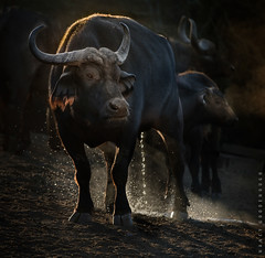 Relief at Sunrise (Nancy Goodenough) Tags: peeing peeingcapebuffalo