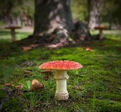 Fly Agaric || BLUE MOUNTAINS || AUSTRALIA (rhyspope) Tags: australia aussie nsw new south wales blue mountains blackheath katoomba leura wentworthfalls rhys pope rhyspope canon 5d mkii autumn fall nature flyagaric fly agaric toadstool mushroom red forest woods