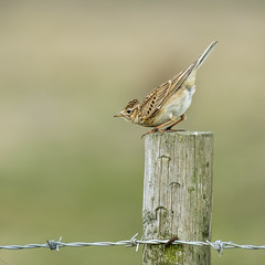 Meadow Pipit on Tip-Toes (Anthony de Schoolmeester) Tags: meadowpipit bird pembreycountrypark southwales wales wildlife fujixt2 fujinonxf1004004556rlmoiswr