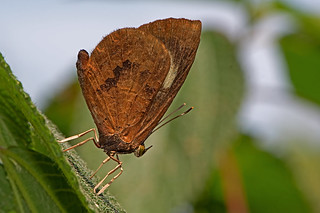 Miletus mallus - the Narrow-banded Brownie