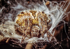 30042016 (grushevich_ivan) Tags: nikon d3100 industar61 macro spider insect forest web паук макро лес паутина
