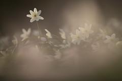 Wood Anemone (Daniel Trim) Tags: wood anemone flower plant nature spring wildlife hertfordshire uk emngland england birchanger bishops stortford