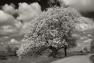 saxon sakura