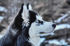 Maya in the snow! (alessiabraghieri93) Tags: icehuskies portraits macro eyes blueeyes animals pets nature sigma18250 sigma puppy snowdogs mountains snow nikond7100 dogs sleddog husky siberian siberianhusky