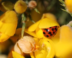 The lady in hiding (Kez West) Tags: ladybird ladybug yellow flower gorse insect spots nature red wildflower spring april bright colourful