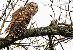 Female Barred Owl (Jeff Clow) Tags: 2017 colleyvillenaturecenter jeffclowphototours march mothernature texas animals beautyinnature birds nature outdoors outside wild wildlife owls barredowl wings coloration
