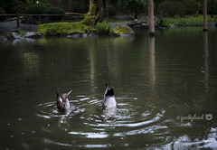 synchronized... (yookyland) Tags: ducks pair upsidedown water reflection rain japanese garden