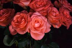 DSC_4711 Roses (PeaTJay) Tags: nikond750 reading lowerearley berkshire macro micro closeups gardens indoors nature flora fauna plants flowers bouquet rose roses rosebuds
