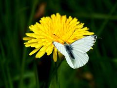 White (SteveJM2009) Tags: white dandelion butterfly kingstonlacy dof focus detail markings wings lines veins dorset uk april 2017 stevemaskell