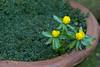 Winter Aconite (SReed99342) Tags: london uk england flower winter aconite
