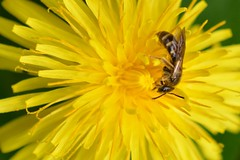 Dandelion (suekelly52) Tags: dandelion flower weed wildflower yellow macro bee insect