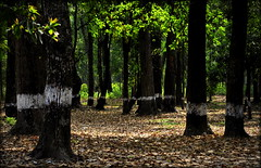 The woods are lovely,dark and deep (mala singh) Tags: forest trees leaves westbengal india