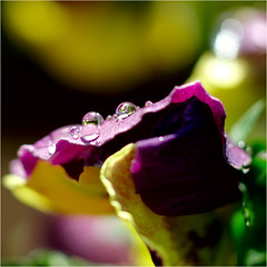raindrops........ (atsjebosma) Tags: waterdrops raindrops violet viooltje flower bloem macro bokeh colourful kleurrijk atsjebosma groningen leek thenetherlands nederland lente spring april 2017 ngc