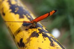 Borboleta bairro São João JM - Wir Caetano - 26 04 2017 (20) (dabliê texto imagem - Comunicação Visual e Jorn) Tags: borboleta inseto amarelo escada ferrugem