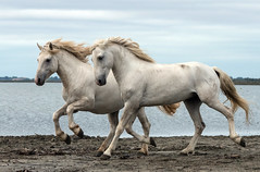 2016 Best Two Camargue Stallions (2) (maskirovka77) Tags: stallion stallions createaway saintlaurentdaigouze languedocroussillonmidipyrén france languedocroussillonmidipyrénées fr