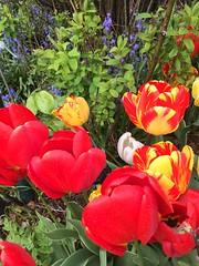 Colourful (markshephard800) Tags: fiori flora flores bloemen blumen fleurs flowers garten tuin giardino jardim jardin garden farben kleuren couleurs colors tulpen tulips colours