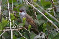 IMGP3703 Whitethroat (kevin_livesey) Tags: wildlife reserve nature lancashirewildlifetrust lwt birdwatching bird spring whitethroat brockholes