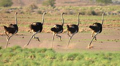 Ostriches speeding up on the dry dusty ground - southern Namibia. (One more shot Rog) Tags: ossies ostrich ostriches nature birds running large flightless namibia desertnamibia desertwildlifesceneryroger sargent wildlife photographyone more shot rogtogetherall together