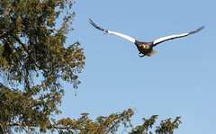 Pygargue de Steller (G. Regisser Photographie) Tags: volerie des aigles kintzheim canon 5d mark iii 70 200 f28 is ii alsace plumes