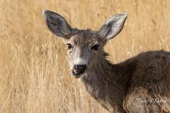 Mule Deer does