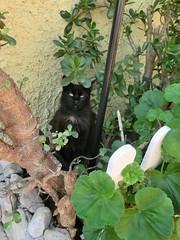 """""""NEGRITA"""".... (enric436) Tags: gato felino jardín negrita"""