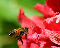 ---head start on the work week... (all one thing (trying to catch up...)) Tags: honeybee bee hibiscus pollen headstartontheworkweek insect flower flyinghoneybee haveagreatweek