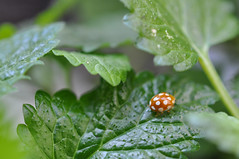 DSC_8638.jpg (biogartler) Tags: 2017 biogartler marienkäfer ladybug gardening urbangardening garten garteln