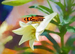 Easter Visitor (Wes Iversen) Tags: butterfliesinbloom dowgardens dryadulaphaetusa easterlilies hss michigan midland nikkor80400mm sliderssunday bandedorangeheliconian blooms blossoms butterflies butterfly flowers painterly