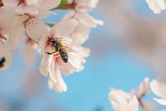 Carl Zeiss Jena Biotar 58mm f2 (Sorin Mutu) Tags: biotar58mmf2m42 carl zeiss jena biotar 58mm f2 bokeh macro bee nature