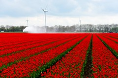 _DSC9258 (durr-architect) Tags: tulip fields flower colour color bulb landscape outdoor field sky grass plant flowerbed bright serene depth garden dronten flevoland water lake dike clouds