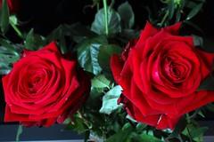 Duo (Gartenzauber) Tags: floralfantasy doublefantasy rosesforeveryone natureselegantshots flowerarebeautiful excellentsflowers photothebestofmimamorsgroups