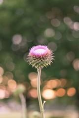 Spring majesty (Jouri HL) Tags: golden hour beautiful canon bokeh flower pink jouri california texas dubai gunydin love warm