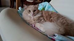 Ready To Sleep (frankbehrens) Tags: katze katzen cat cats chat chats gato gatos kater tom