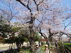 IMGP5575 (digitalbear) Tags: sakura cherry blossom chidorigafuchi hanami chiyodaku tokyo japan pentax q7 08widezoom 17527mm
