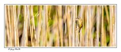Sedge Warbler (Liquidparadox) Tags: bird sedgewarbler art reeds beautiful brandonmarsh warwickshire 1dx2 500mm photoshop