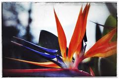 Bird of Paradise flower in Snapseed (elizabatz.jensen) Tags: birdofparadise flower orange tropical plant photo app stackables