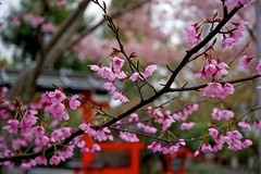 Kurumazaki (tez-guitar) Tags: shrine kyoto sakura cherryblossom cherry blossoms bloom pentax pentaxart petal spring flower architect architecture